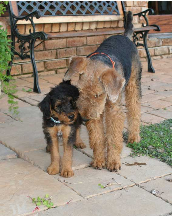 Airedale Terrier with puppy