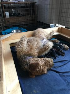Airdale Terrier mother with puppies