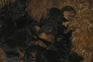 Day old Airedale Terrier puppies