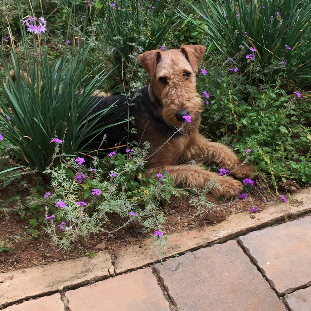 Airedale Terrier - Gypsy