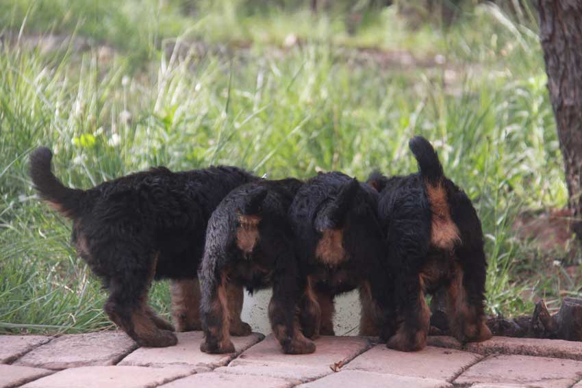 Airedale Terrier puppies eating kibble