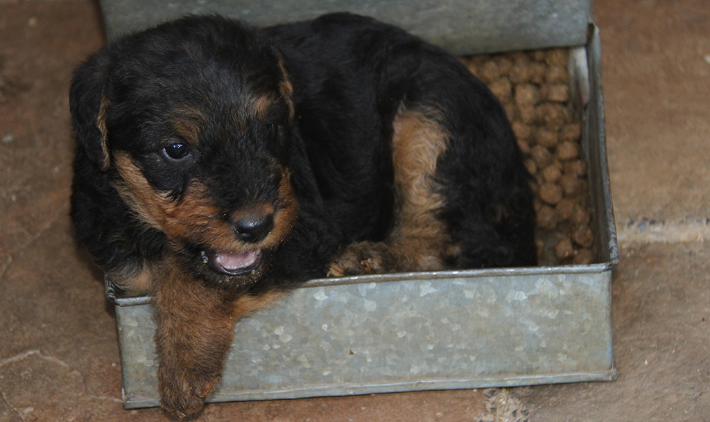 5 week old Airedale Terrier Puppy
