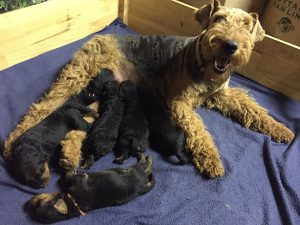 Airedale Terrier with her puppies