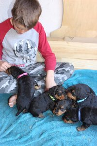 Airedale Terrier puppies with child