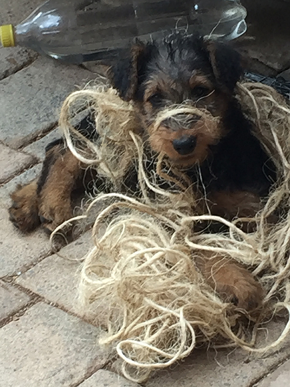 8 week old Airedale Terrier puppy