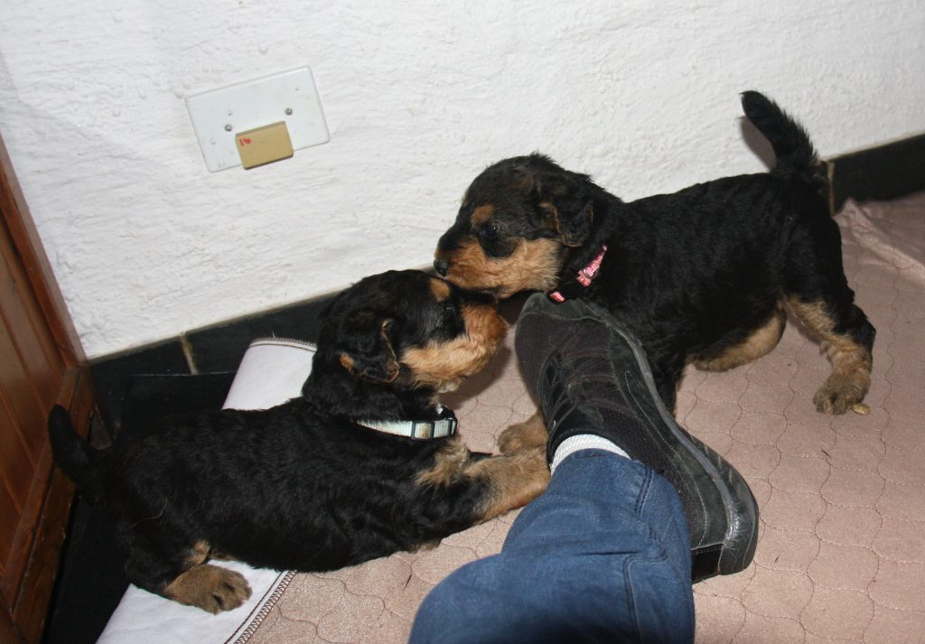 4 week old Airedale Terrier Puppies