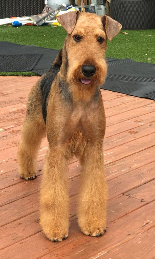 Airedale Terrier - Reddick