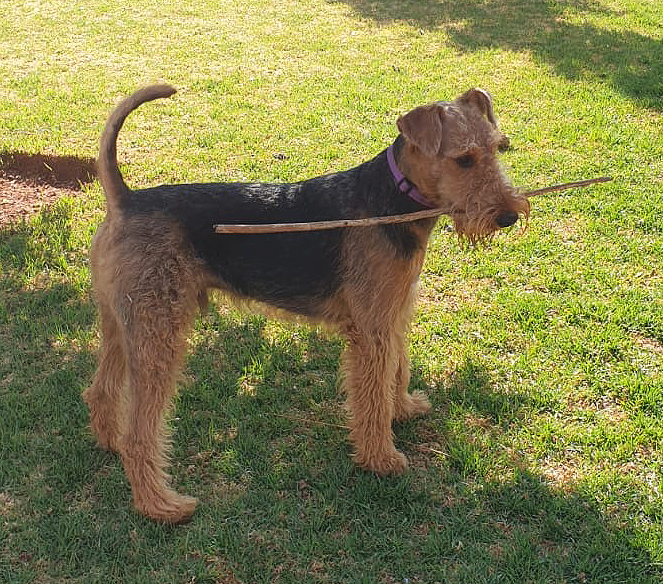 Airedale Terrier - Rufus