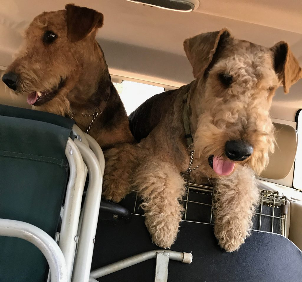 Two Airedale Terriers