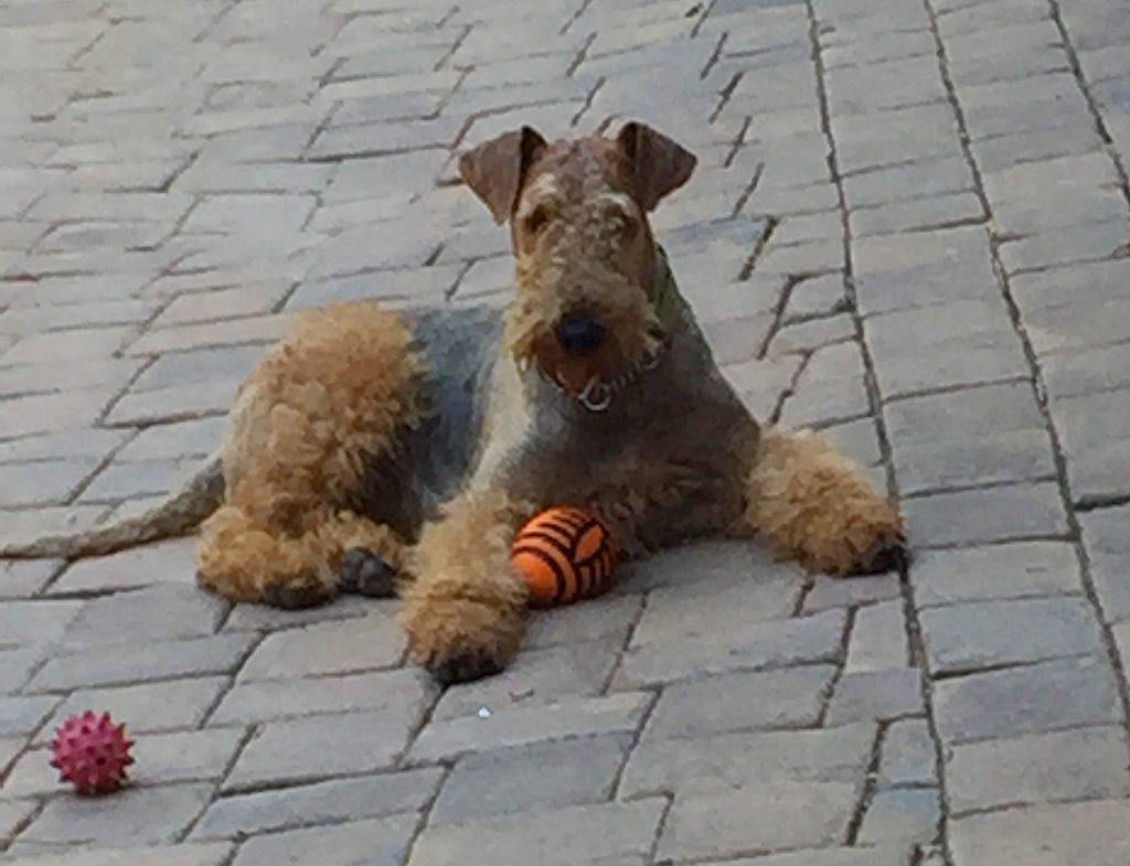 Airedale Terrier - Stellar