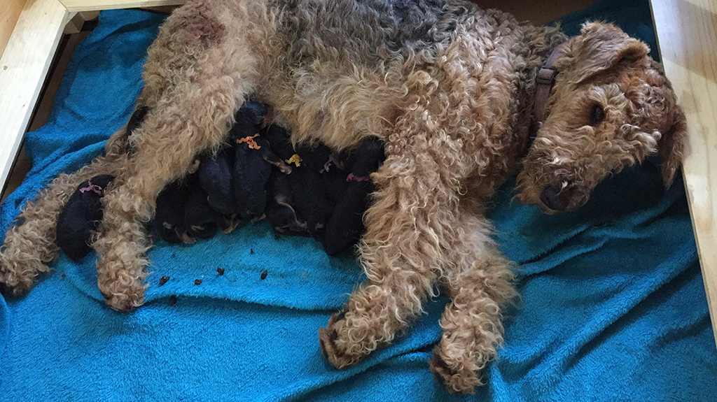 Airedale Terrier feeding puppies