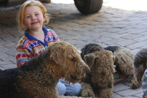 Child playing with Airedale Terriers